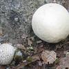 Giant Puffball (Lycoperdon gigantea)