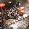 Fading Scarlet Waxy Cap (Hygrophorus miniatus)
