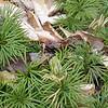 Groundpine or Fan Clubmoss (Lycopodium digitatum)