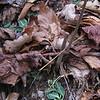 Rattlesnake Plantain (Goodyera pubescens) leaves