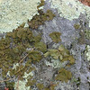 Rock Greenshield lichen (Flavoparmelia baltimorensis) & Common Toadskin lichen (Lasallia papulosa)