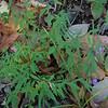 Southern Harebell (Campanula divaricata)