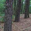 Virginia Pine (Pinus virginiana) Trunks