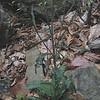 Smooth Rock Cress (Arabis laevigata)