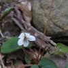Northern or Small White Violet (Viola macloskeyi )