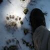 Bear prints?