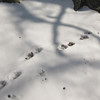 Walking Bobcat tracks