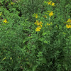 Shrubby St Johnswort (Hypericum prolificum)