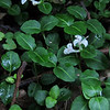 Partridgeberry (Mitchella repens)