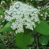 Naked Witherod (Viburnum nudum)