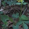 Heart-leaved Alexanders (Zizia aptera)