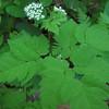Sweet Cicely (Osmorhiza claytonii )