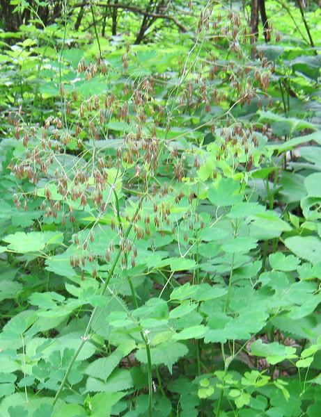 Meadow Rue (Thalictrum dioicum)