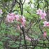 Wild Azalea (Rhododendron periclymenoides)
