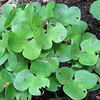 Hepatica leaves (Hepatica nobilis)