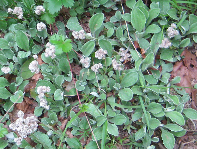 Plantain-leaved Pussytoes (Antennaria plantaginifolia )