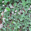 Plantain-leaved Pussytoes (Antennaria plantaginifolia )
