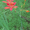 Blackberry Lily (Belamcanda chinensis)