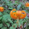 Turk's-cap Lily (Lilium superbum)