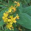 SpottedSt. Johnswort (Hypericum punctatum)