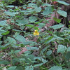 Pale Jewelweed (Impatiens pallida)