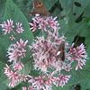 Silver-spotted Skipper butterflies (Epargyreus clarus) on Sweet-scented Joe-Pye Weed (Eupatorium purpureum)