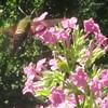 Hummingbird Moth (Hemaris thysbe) on Garden Phlox (Phlox paniculata)