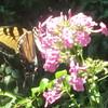 Tiger Swallowtail butterfly (Pterourus glaucus) on Garden Phlox (Phlox paniculata)
