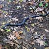 Rat Snake (Elaphe obsoleta) [photo by Ed Brimberg]