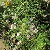 White Panicled Aster (Symphyotrichum lanceolatum)