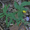 Smooth Aster (Symphyotrichum laeve) & Erect Goldenrod (Solidago erecta)