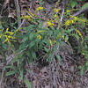 Tall Goldenrod (Solidago canadensis)