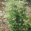Upland Boneset (Eupatorium sessilifolium)