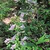 Gray Beardtongue (Penstemon canescens)