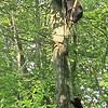 Bears starting up the tree