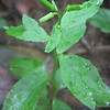 Pilewort (Erechtites hieracifolia)