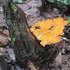 Sulphur Shelf fungus (Laetiporus sulphureus)