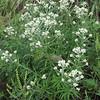 Sweet Everlasting (Pseudognaphalium obtusifolium)