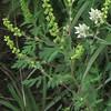 Ragweed (Ambrosia artemisiifolia)