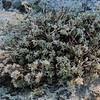 Silvery Nailwort (Paronychia argyrocoma)