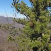 Table Mountain Pine (Pinus pungens)
