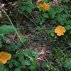 Chanterelles (Cantharellus cibarius)--Sybille always took the good ones before I got there.