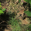 Whorled Tickseed (Coreopsis verticillata)