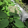 Wild Hydrangea (Hydrangea arborescens ) by the falls