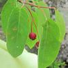 Service Berry (Amelanchier laevis)