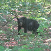 Bear watches us from the woods, tempted by campers eating peanut butter