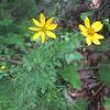 Whorled Coreopsis (Coreopsis verticillata)