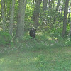 Bear at the edge of the woods