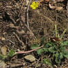 Dwarf Cinquefoil (Potentilla canadensis)