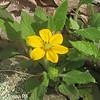 Green and Gold (Chrysogonum virginianum)